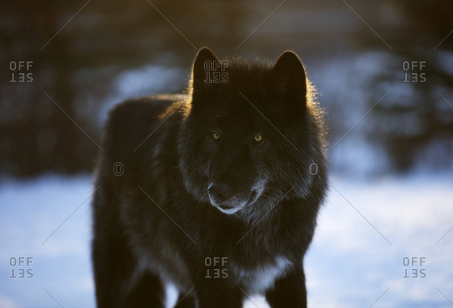 A Wolf (Canis lupus) dog near Canmore, Alberta.