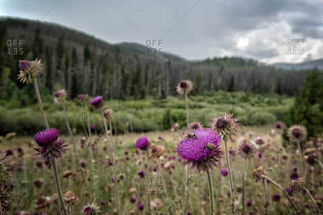 Close-up Of A Bull Thistle Field