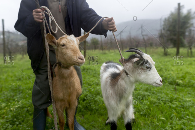 Goats are unleashed by a man in northern Portugal.