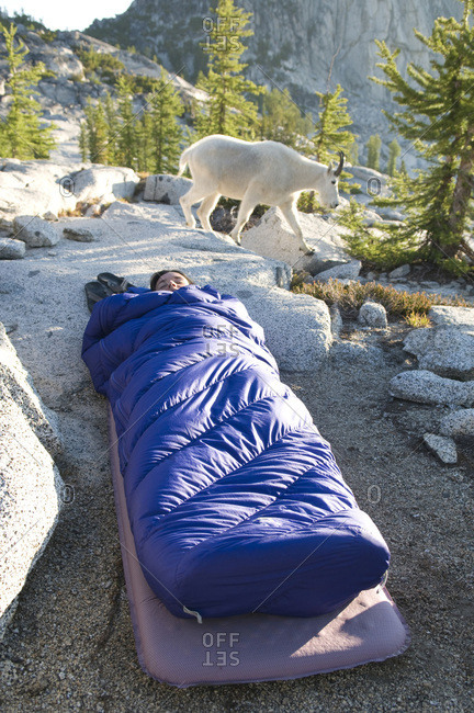 A woman asleep in her sleeping bag as a mountain goat meanders past, Leavenworth, Washington.