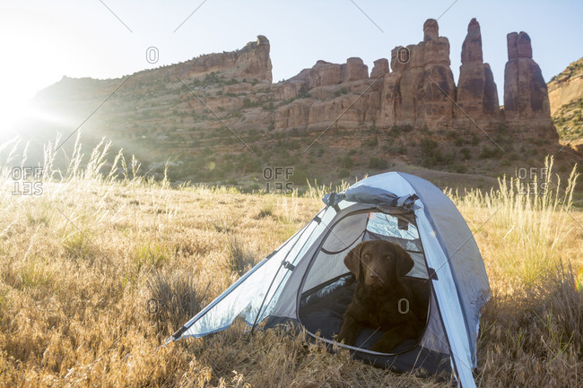 Dog in tent along the Colorado River, Fruita, Colorado.