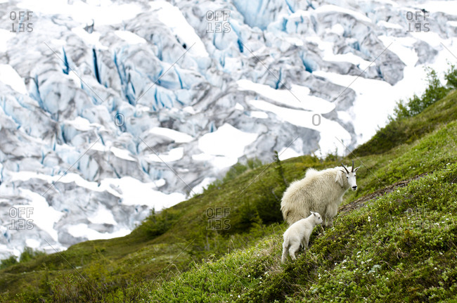 A mountain goat and its baby search for food near the Exit Glacier in Seward, Alaska.