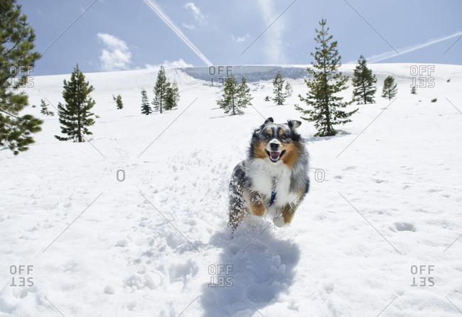 An Australian shepherd runs in the snow in Truckee, California.