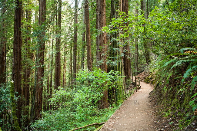 A walking path leads through the trees at Muir Wood National Monument.