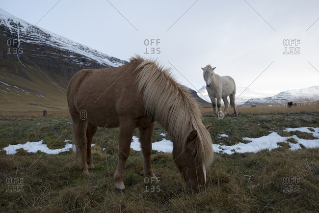 Icelandic horses graze in a field at the base of snow-covered mountains.