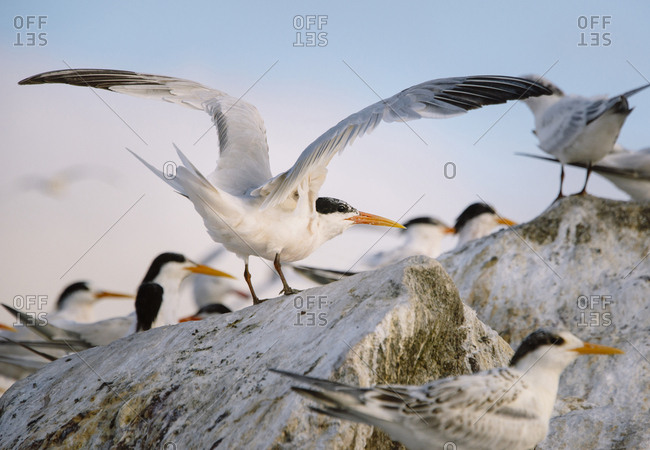 A common tern takes off from a colony at sunset.