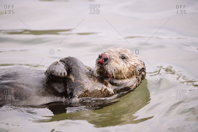 A sea otter with a nose injury from fighting swims on its back in Monterey Bay.
