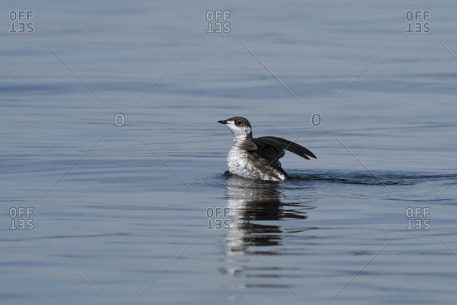 An endangered marbled murrelet flaps its wings over the water.