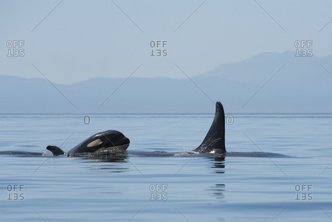 An orca calf surfaces right behind its mother with mountains in the distance.