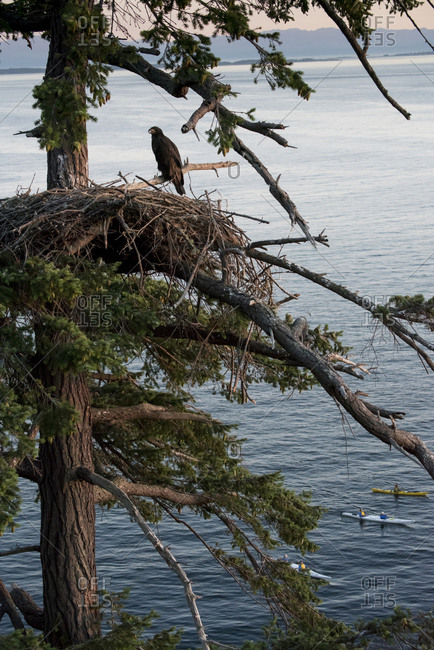 Sea kayakers paddle by as a juvenile bald eagle on its nest looks on.
