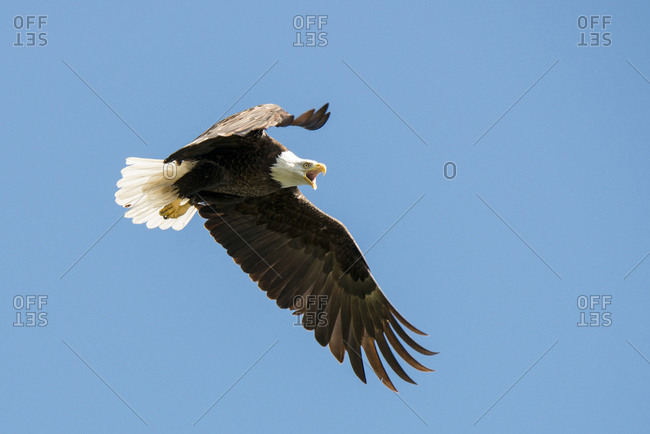 A bald eagle with its beak open flies with wings open.