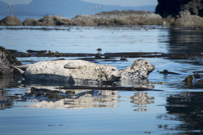 Two harbor seals relax near a kelp bed.