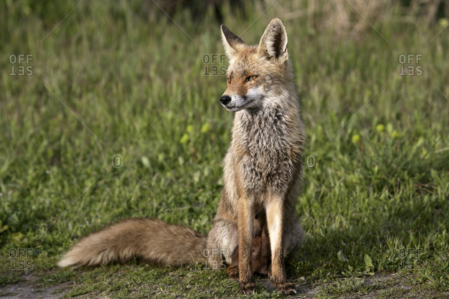 Male Red Fox Vulpes Vulpes