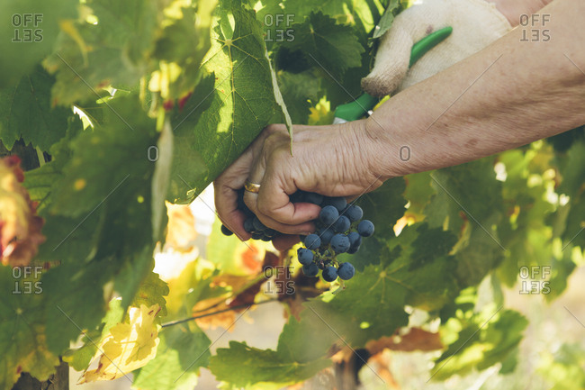 Image showing hand holding grapes during harvesting.