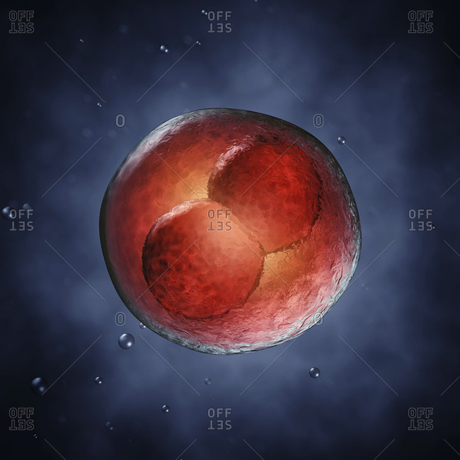 Two-cell embryo, illustration. Two-cell embryo.