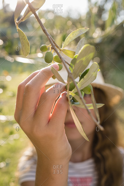 Green olives on tree picked by a girl- Tuscany- Italy