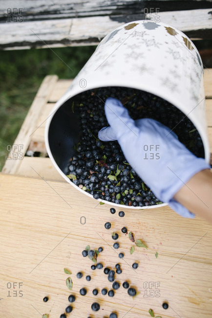 Close-up of collecting and sorting blueberries