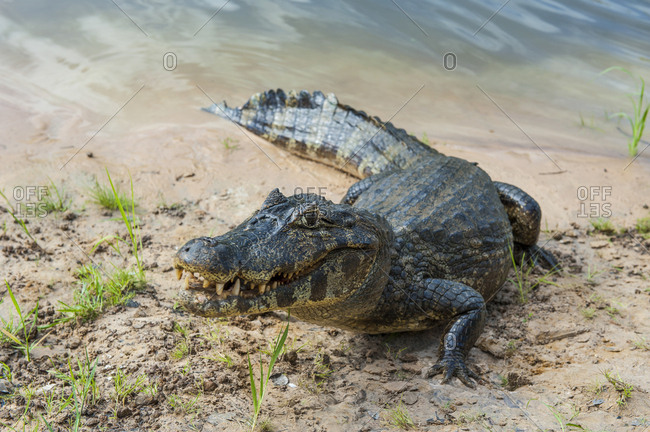 Yacare caiman- Pantanal- Brazil - Offset