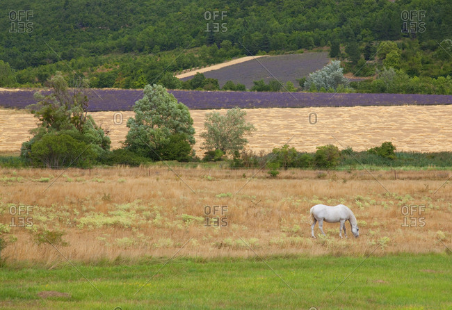 White horse grazing in lavender field at harvest time Near Arles, France