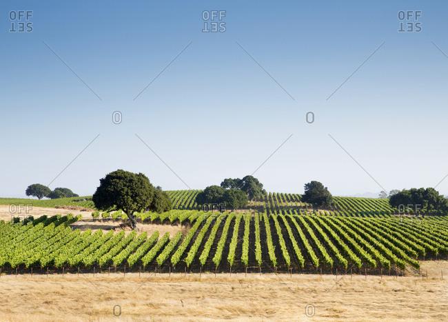 Rows of grape vines in Napa Valley, California, USA