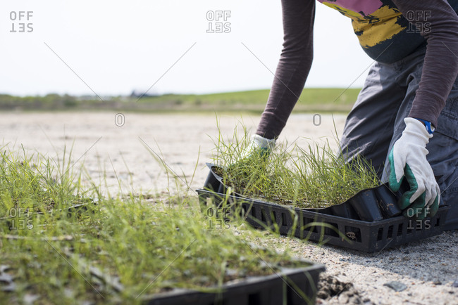 Marsh restoration and grass planting by volunteers