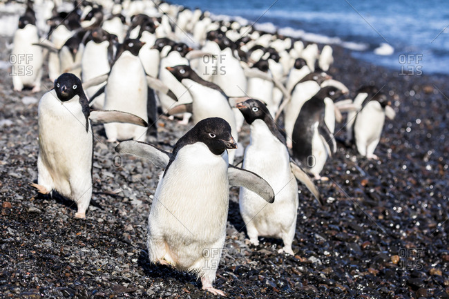 Group of penguins walking on seashore