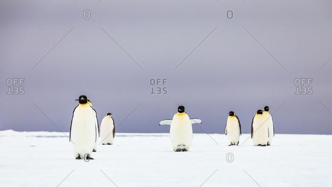 Group of emperor penguins (Aptenodytes forsteri) standing on iceberg
