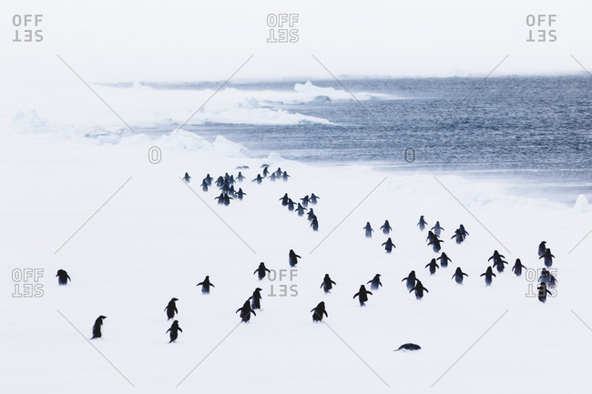 Colony of Adelie penguin (Pygoscelis adeliae) during blizzard