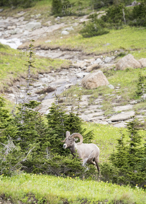 Big horned sheep (Ovis canadensis) in Glacier National Park, Montana, USA