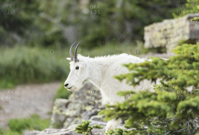 Side view of mountain goat (Oreamnos americanus) in Glacier National Park, Montana, USA