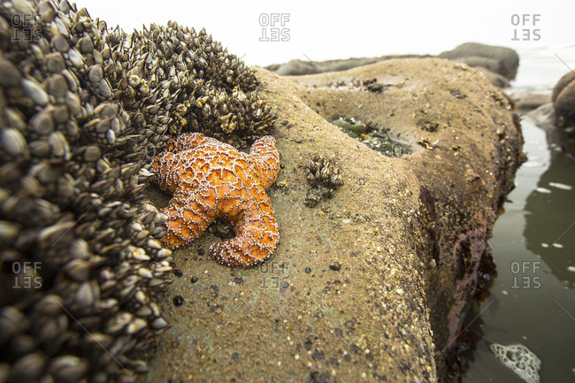 Orange starfish sticking to rock during low tide in Olympic National Park, Washington State, USA