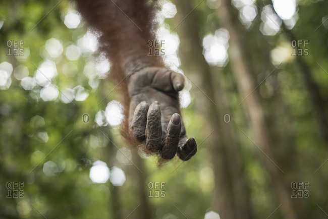 Hand of a Sumatran Orangutan in the jungle of Bukit Lawang, Sumatra, Indonesia.