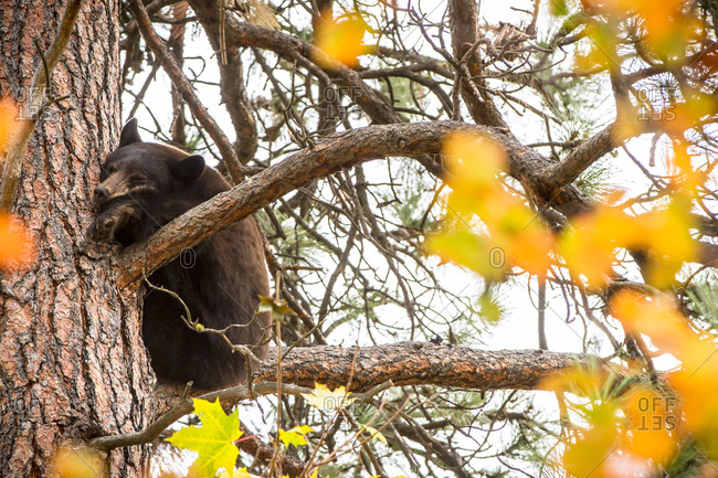 A black bear takes a nap in a tree near Missoula, Montana.