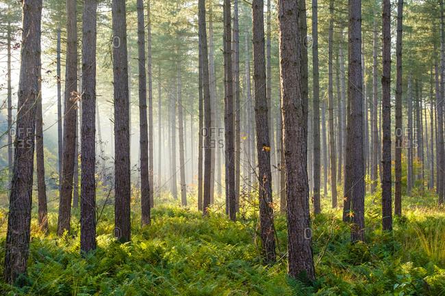 Light rays through trees in Hoge Kempen National Park