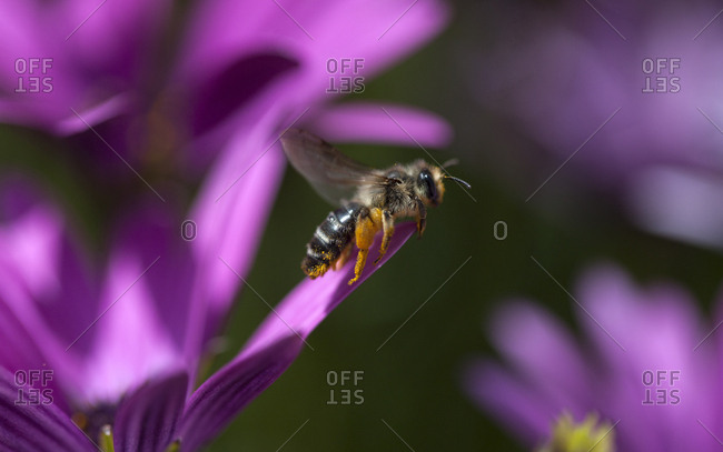 A bee flies by purple flowers in Villaluenga del Rosario, Cadiz province, Andalusia, Spain