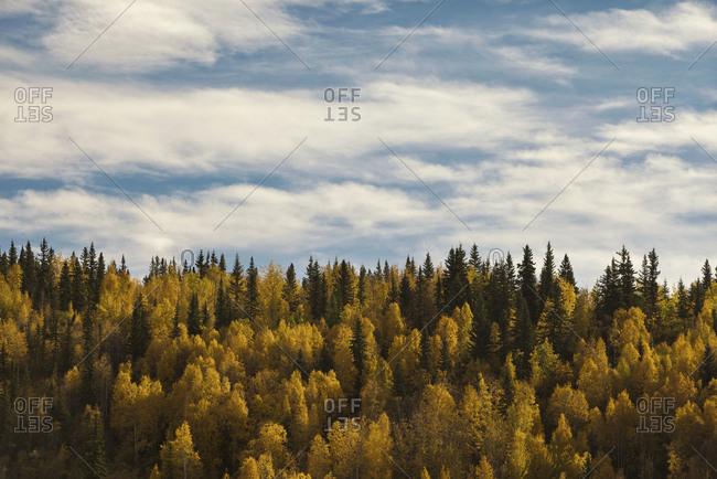 Fall colors, Dawson City, Yukon, Canada.
