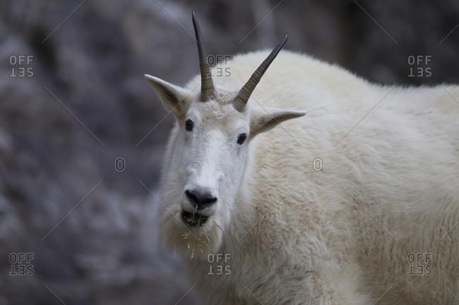 Mountain Goat, near Lake Victoria, Yoho National Park, Canada