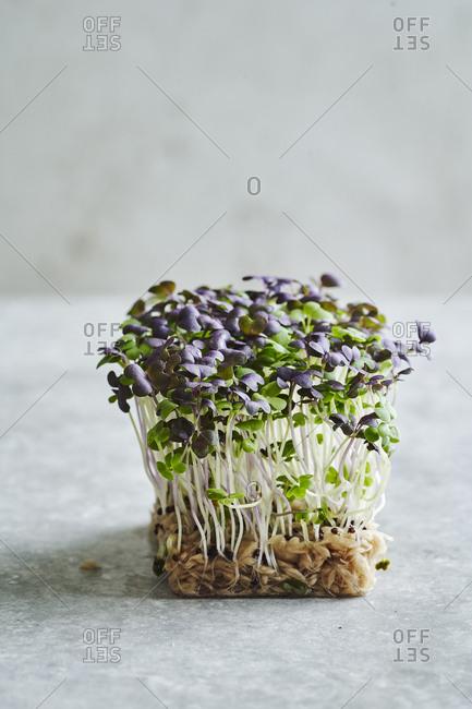 Micro herbs being grown in sunlight