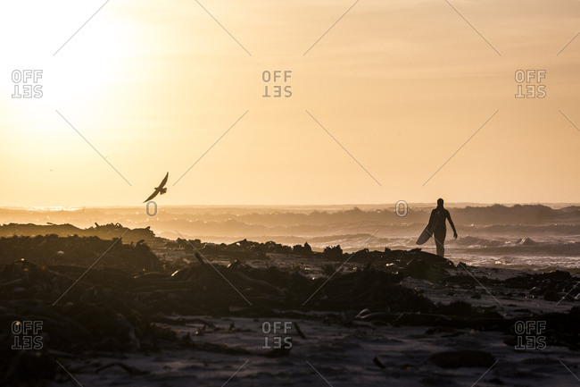 Lone male surfer walking towards ocean at sunset, Elands Bay, Western Cape, South Africa