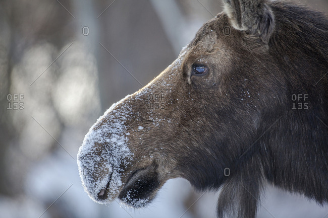 Cow moose covered in snow, Jackson Hole, Wyoming, USA