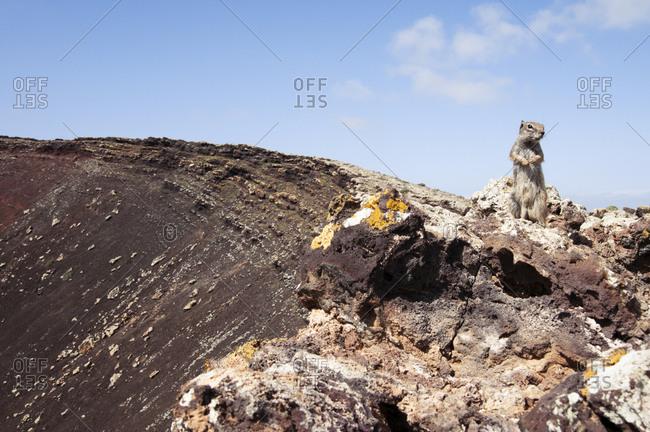 Barbary ground squirrel (Atlantoxerus getulus), crater of Calderon Hondo volcano, La Oliva, Fuerteventura, Canary Islands, Spain