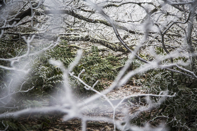 Dog Mountain, Columbia River Gorge, Washington, USA. Looking through a forest of frozen branches.