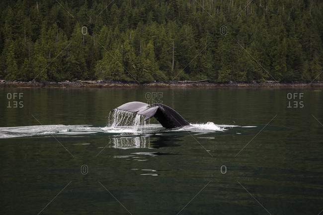 A Whale Tail Breaks The Surface Of Dark Green Calm Water With Forest In Background