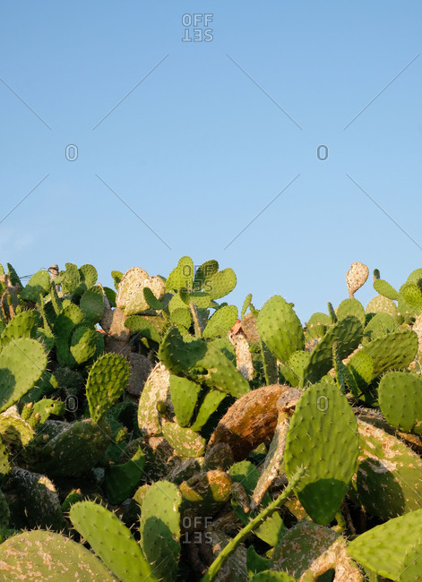 Bunch of green cacti under blue sky
