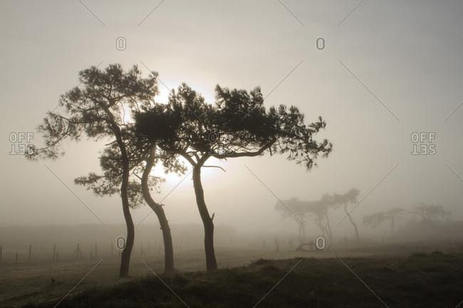 France, Les Moutiers-en-Retz, 44, maritime pines in the fog.