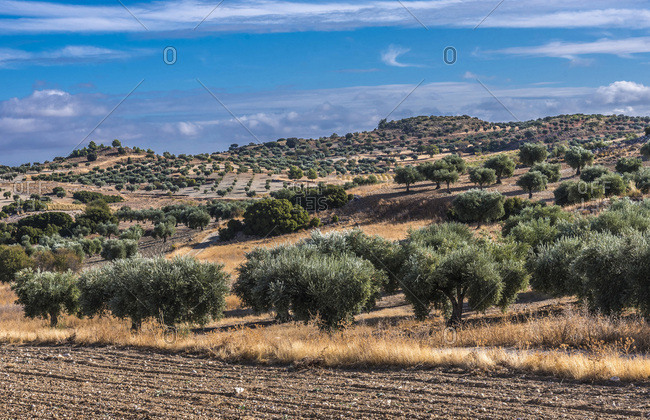 Spain, autonomous community of Madrid, Province of Madrid, olive trees in the countryside surrounding Chinchon