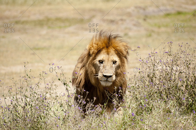 Lion in the flowery bush staring at visitors, Serengeti, Tanzania