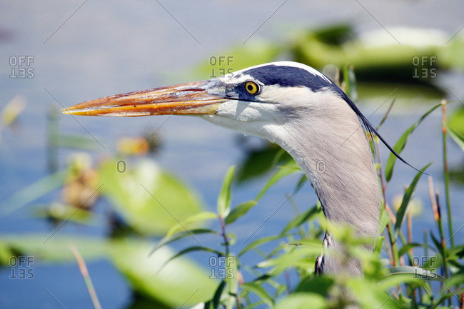USA. Florida. Everglades National Park. Anhinga Trail. Close-up of a great heron during the hunt arising from the vegetation.