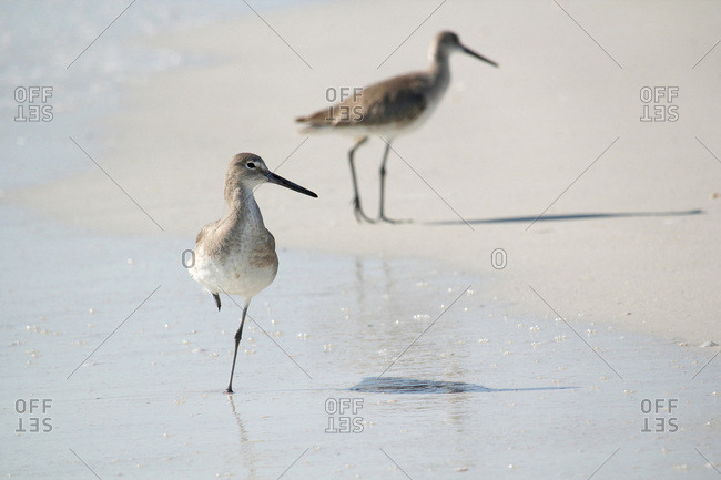 USA. Florida. Fort Myers beach,  Lovers Key State Park. The beach. Sandpipers.