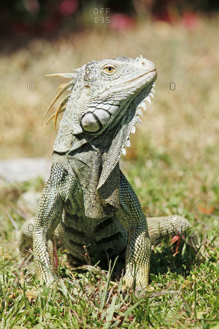 USA. Florida. The Keys. Islamorada. Close up on an iguana.